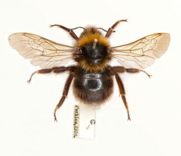 Barbut's cuckoo bumblebee