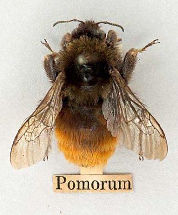 Apple bumblebee - last recorded in Britain 1864