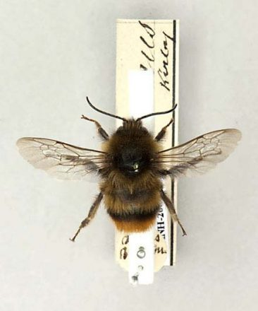 Cullem's bumblebee - extinct in Britain since 1941