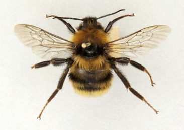Short-haired bumblebee - extinct in Britain since 1988