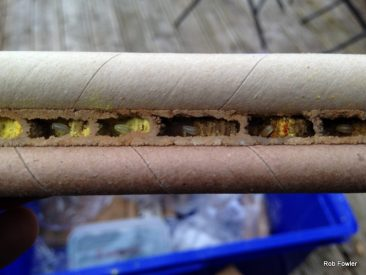Inside a Red Mason bee nest