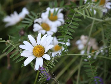 Oxeye Daisy and Vetch