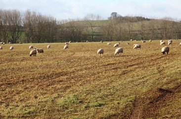 Well drained field - turnip forage - 11/1/15