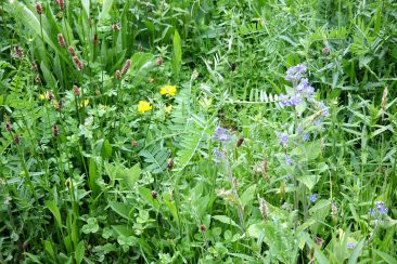 Meadow Late May 2015