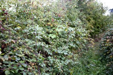 Uncut hedge, loaded with fruits, in the 'conservation area'