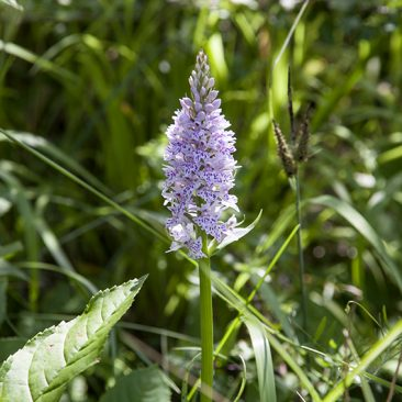 Declining Species: Common Spotted Orchid