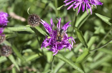 Greater Knapweed & mason bee