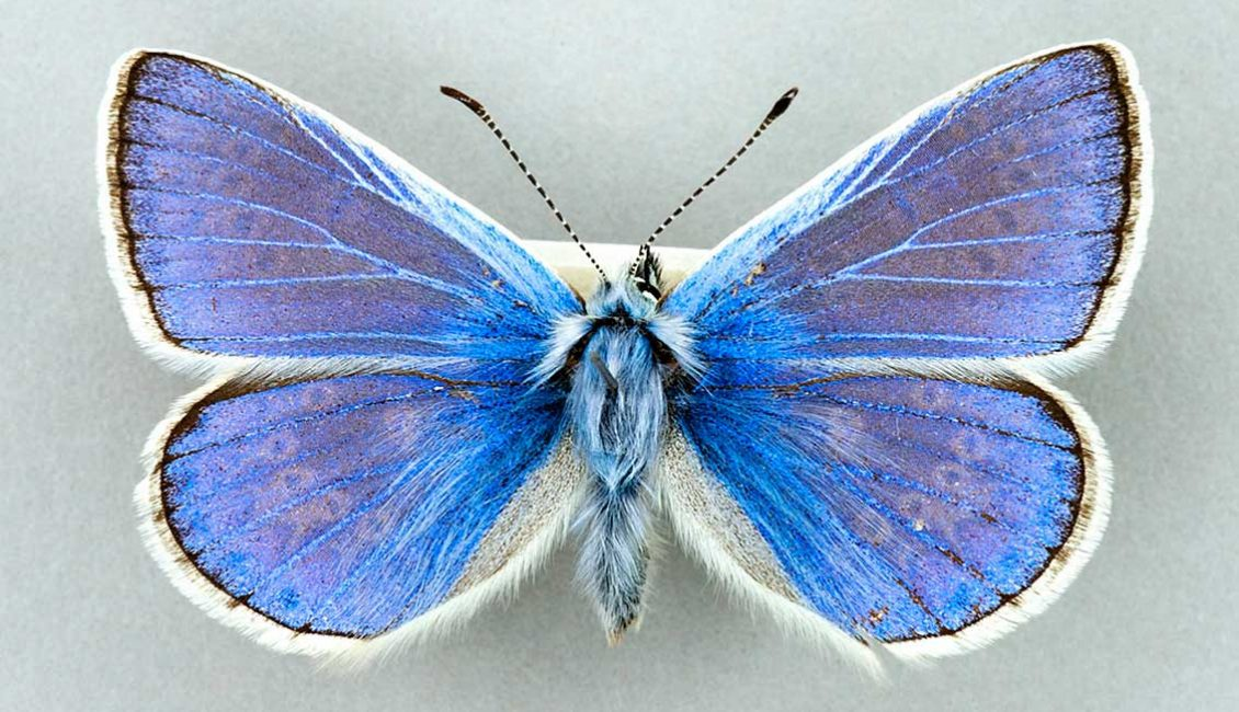 Not so 'Common Blue'